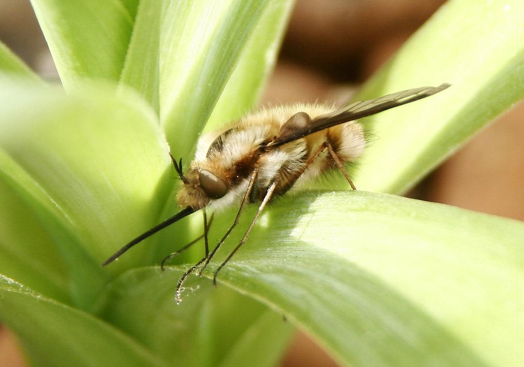 Bombyliidae2.JPG